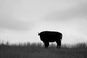 BUFFALO, Custer State Park, South Dakota copia