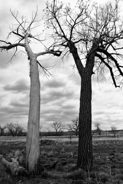 TREES IN A CLOUDY DAY, Circle View Guest Ranch, South Dakota copia
